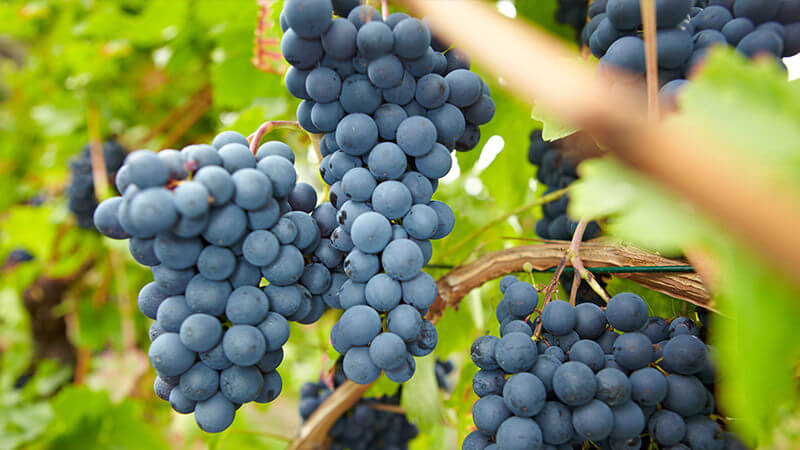 Nguồn gốc giống nho Pinot Noir