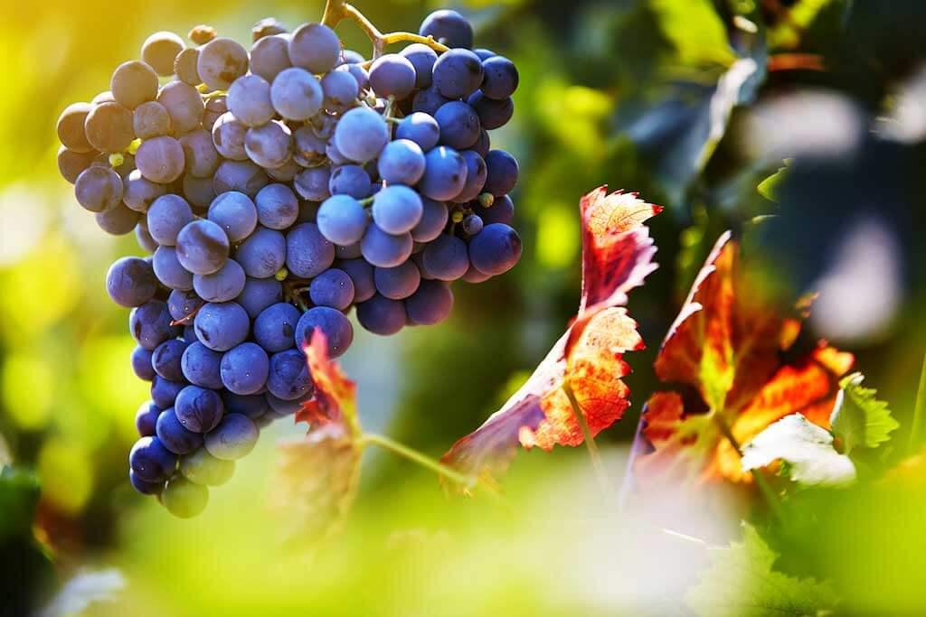 Những giống nho được dùng để sản xuất rượu vang 1865 Chile
