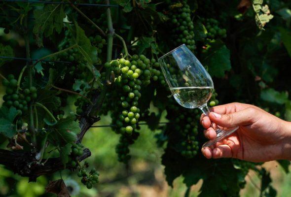 các giống nho sản xuất rượu vang g7